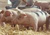 Atenționare pestă porcină africană