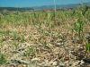 Pagube culturi agricole
